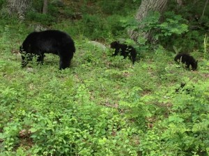 3 Bears in Shenandoah National Park