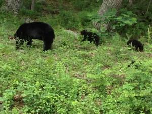 3 Bears in Shenandoah National Park